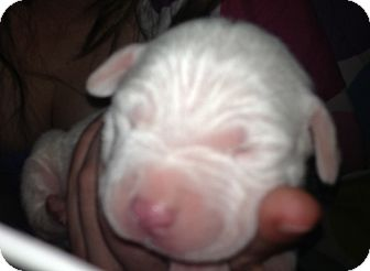 Pit Bull Terrier Mix Puppy for adoption in Lancaster, Ohio - Lilly