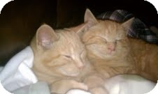Domestic Shorthair Kitten for adoption in Southington, Connecticut - OJ