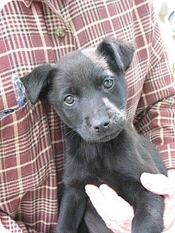 Labrador Retriever Mix Puppy for adoption in Greenville, Rhode Island - Rory
