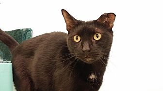 Domestic Shorthair Cat for adoption in Westbury, New York - Onyx