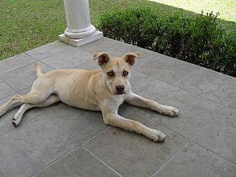 Labrador Retriever/Bulldog Mix Dog for adoption in Blountstown, Florida - Buttermere
