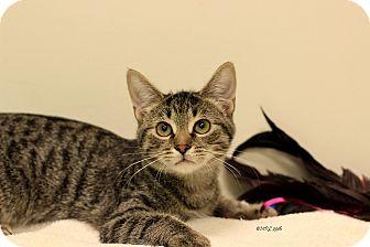 Domestic Shorthair Kitten for adoption in Flushing, Michigan - Lucas
