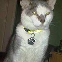 Domestic Shorthair Cat for adoption in Radford, Virginia - Moe