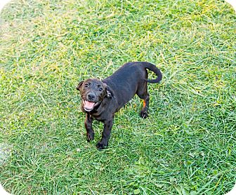 Labrador Retriever/Pit Bull Terrier Mix Puppy for adoption in Seville, Ohio - Iris
