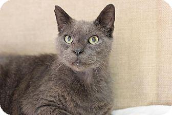 Domestic Shorthair Cat for adoption in Midland, Michigan - Skiddy - NO FEE