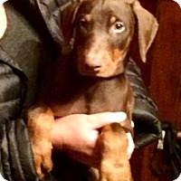Adopt A Pet :: 10 week old red dobie pupn - Nanuet, NY