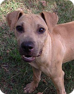 Shar Pei Mix Dog for adoption in Boston, Massachusetts - Junior