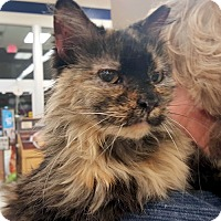 Domestic Longhair Cat for adoption in St. Charles, Missouri - Paprika  at PETCO daily