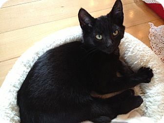 Domestic Shorthair Kitten for adoption in East Hanover, New Jersey - Mink