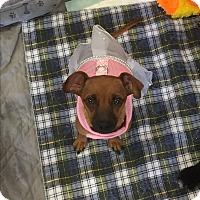 Adopt A Pet :: Hermione - Brea, CA