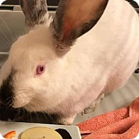 Adopt A Pet :: Booboo - Woburn, MA