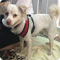 Papillon/Chihuahua Mix Puppy for adoption in Valencia, California - Jayme