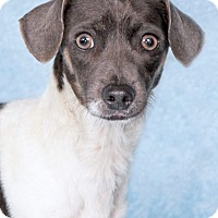 Adopt A Pet :: Bari - Encinitas, CA