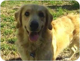 Golden Retriever Puppy for adoption in Lewisville, Texas - Jacob