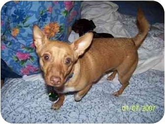 Miniature Pinscher/Chihuahua Mix Dog for adoption in Mesa, Arizona - Roxie