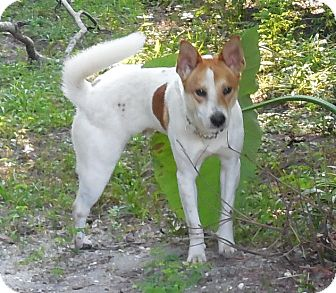 Shiba Inu/Australian Cattle Dog Mix Dog for adoption in Ormond Beach, Florida - Tommy