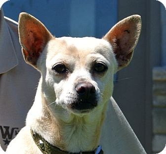 Chihuahua Mix Dog for adoption in white settlment, Texas - Odie