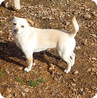 Chihuahua Mix Dog for adoption in Linden, Tennessee - Kia