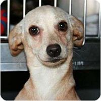 Adopt A Pet :: Torrie - Canoga Park, CA