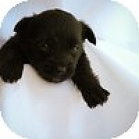 Adopt A Pet :: Puppy Male - Mission Viejo, CA