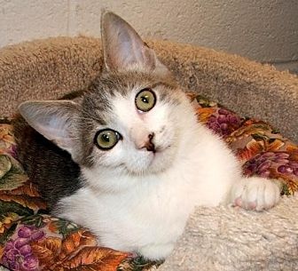 Domestic Shorthair Cat for adoption in Atco, New Jersey - Logan