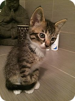 Domestic Shorthair Kitten for adoption in Oak Lawn, Illinois - Eminem