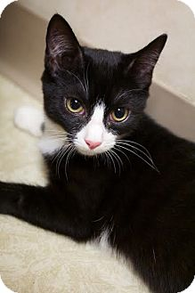 Domestic Shorthair Kitten for adoption in Montclair, New Jersey - Bubbles