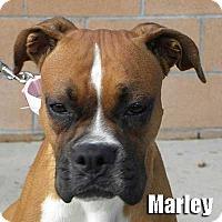 Adopt A Pet :: Marley - Encino, CA