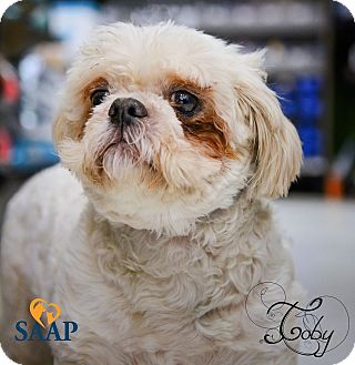 Shih Tzu Dog for adoption in Newport, Kentucky - Toby