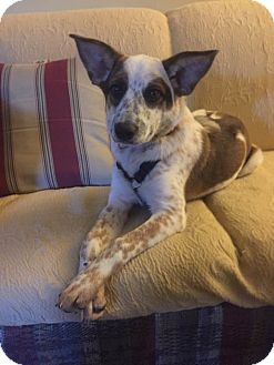 Cattle Dog Mix Dog for adoption in Warner Robins, Georgia - Party Pup