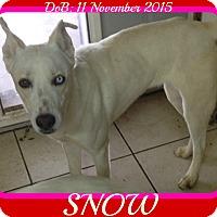 Adopt A Pet :: SNOW - Manchester, NH
