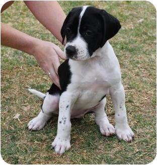 American Bulldog/German Shorthaired Pointer Mix Puppy for adoption in Mesa, Arizona - Juno