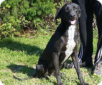 Labrador Retriever Mix Dog for adoption in Oviedo, Florida - Francessca