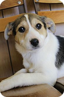 Beagle/Labrador Retriever Mix Puppy for adoption in Bedminster, New Jersey - Molly