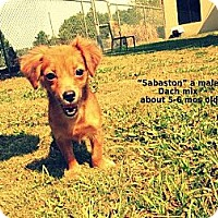 Adopt A Pet :: Sebaston - Gadsden, AL