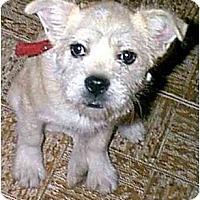 Adopt A Pet :: Derringer - dewey, AZ