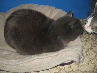 Russian Blue Cat for adoption in Coos Bay, Oregon - Stonewall