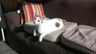 Manx Cat for adoption in Sarasota, Florida - Felipe