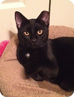 Domestic Shorthair Cat for adoption in Tampa, Florida - Sir Purr