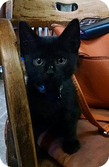 Domestic Shorthair Kitten for adoption in Hazlet, New Jersey - Augusto