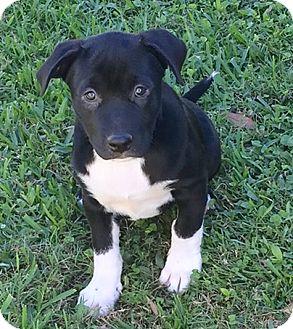 Labrador Retriever Mix Puppy for adoption in Fort Collins, Colorado - Mamie
