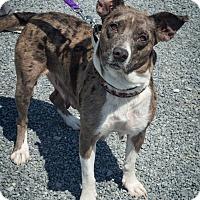 Adopt A Pet :: Daisy Mae - Breinigsville, PA