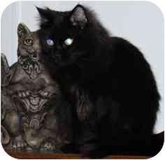 Domestic Mediumhair Cat for adoption in Fayette, Missouri - Hocus