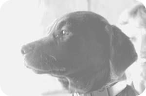 Golden Retriever/Labrador Retriever Mix Dog for adoption in Anza, California - Linda Ray Pup #5