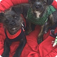 Adopt A Pet :: Pete - La Habra Heights, CA