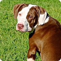 Adopt A Pet :: Kahlua - Reisterstown, MD