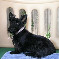 Scottie, Scottish Terrier Dog for adoption in Dallas, Texas - Lydia