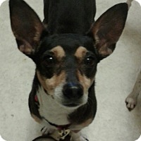 Adopt A Pet :: Buttercup In Fort Worth - Austin, TX