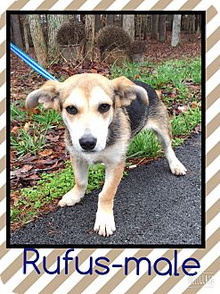 Jack Russell Terrier/Chihuahua Mix Puppy for adoption in Harrisonburg, Virginia - Rufus (Pom)