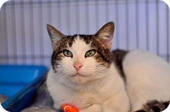 Domestic Shorthair Cat for adoption in Hanna City, Illinois - Clover